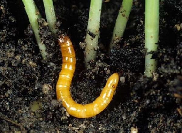 Защита корней от проволочника