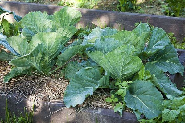 Для выращивания ранней капусты рекомендуется организовать теплички