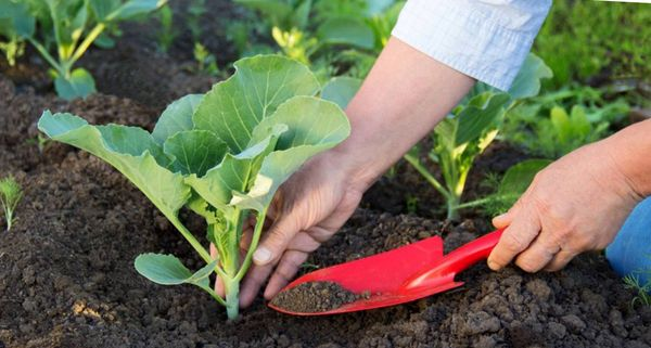 Во время формирования кочанчиков раннюю капусту следует периодически окучивать