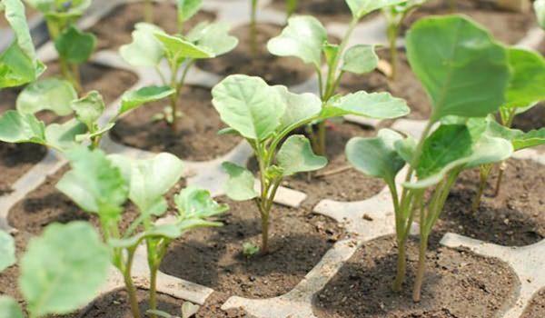 Когда садить капусту брокколи на рассаду на урале 7