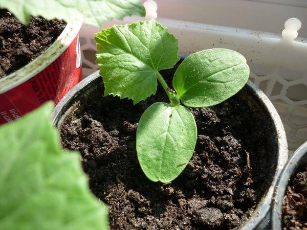 Огуречную рассаду можно начинать подкармливать после появления 2-3 листочков