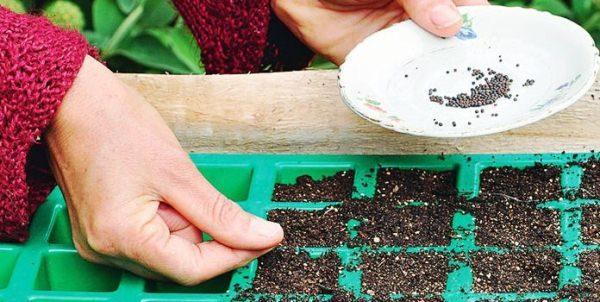Семена капусты Валентина f1 высевают в заранее подготовленный почвенный субстрат