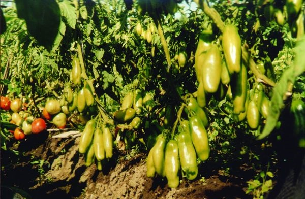 Агротехника выращивания томата