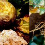 Самые распространенные болезни капусты