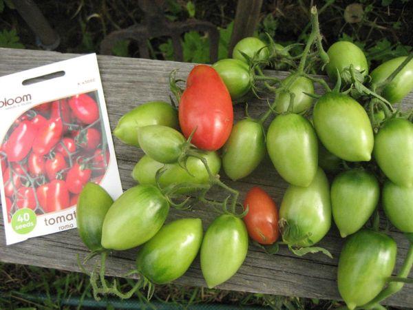 Высокая урожайность и длительное плодоношение - достоинства сорта