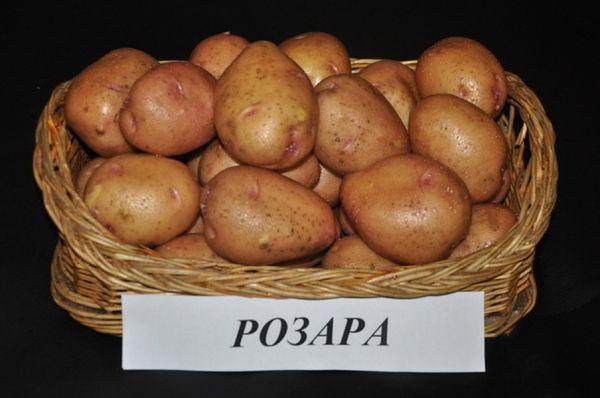 При хороших условиях с куста Розары собирают 24 клубня по 100 грамм