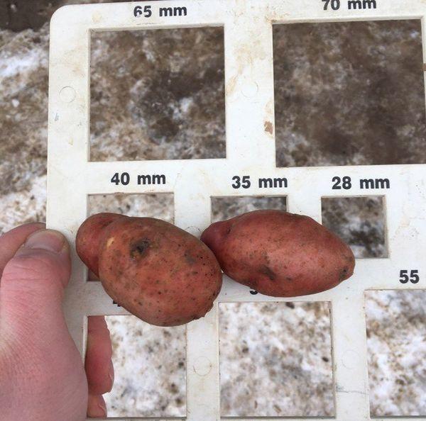 Для посадки подойдут лишь крупные семена весом от 50 грамм