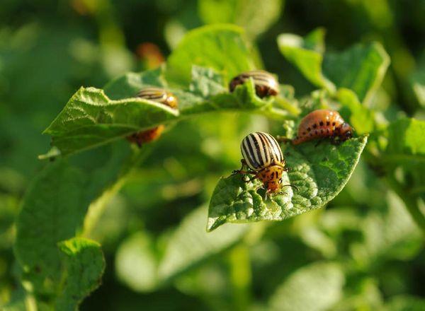 Основным вредителем Розары является колорадский жук