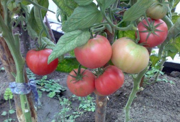 Высокая урожайность - одно из достоинств сорта