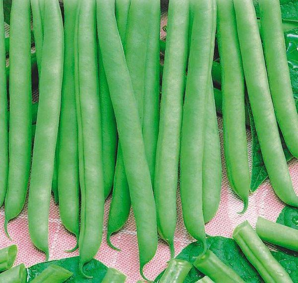 Урожайность сорта составляет от 125 до 160 центнеров на гектар