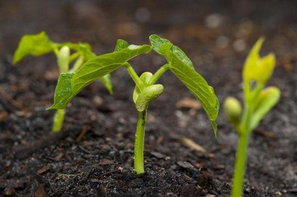 При поливе фасоли сакса нельзя чрезмерно увлажнять почву