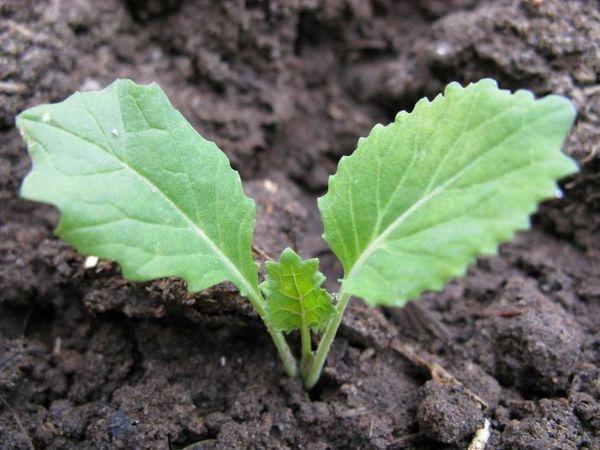 Всходы рассады из семян