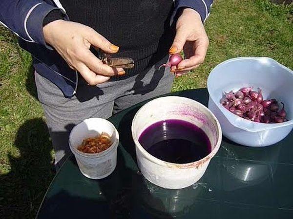 Для обеззараживания севка проводят замачивание в марганцовке