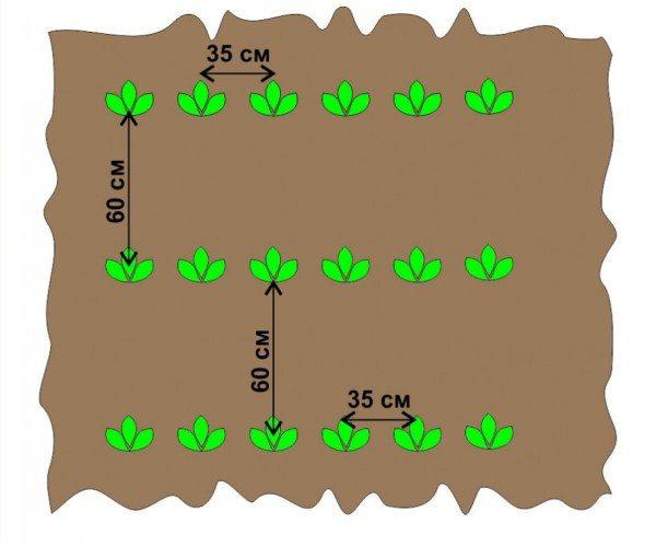 Схема посадки картофеля для обычных грядок
