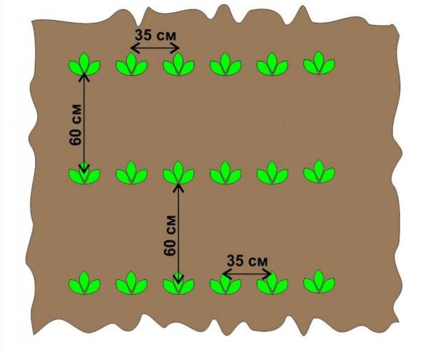 Расстояние при посадке картофеля: различные схемы высадки культуры