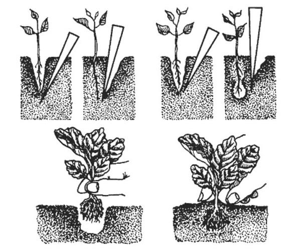 Необходимость пикировки капусты