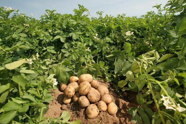 Клубнещит помогает защитить картофель на весь сезон - от посадки до сбора урожая