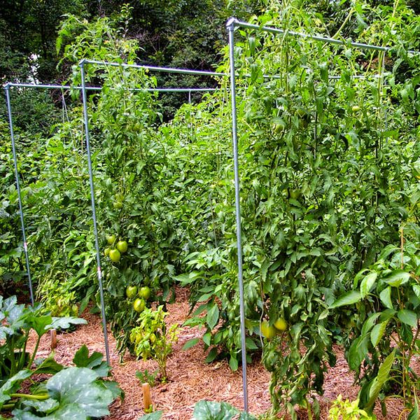 Подвязка томатов – способы получения отличного урожая
