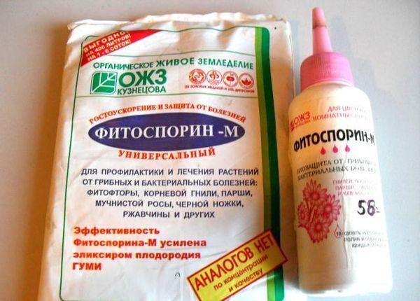 Для предотвращения фитофторы рекомендуется обработка Фитоспорином