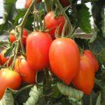 Самые популярные сорта помидоров