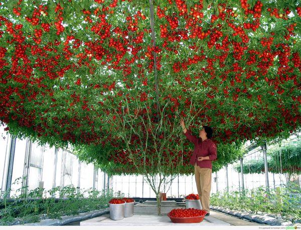 Диаметр кроны томатного дерева может достигать 50 кв.м.
