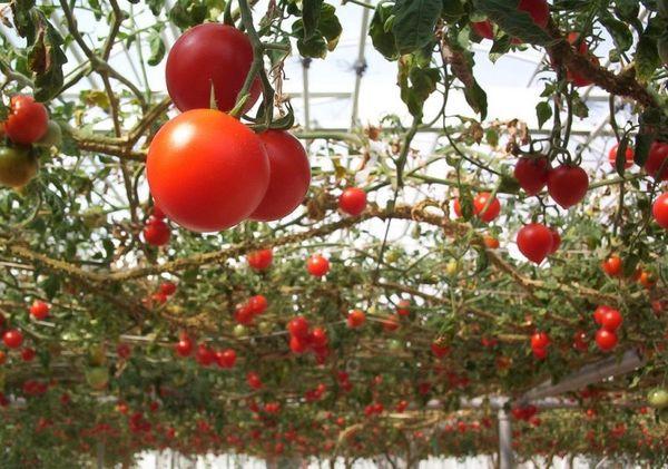 Одно из достоинства - красота плодов и универсальность использования