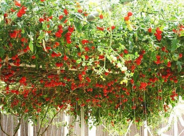 Сорт рекомендуется выращивать в большой теплице с системой отопления