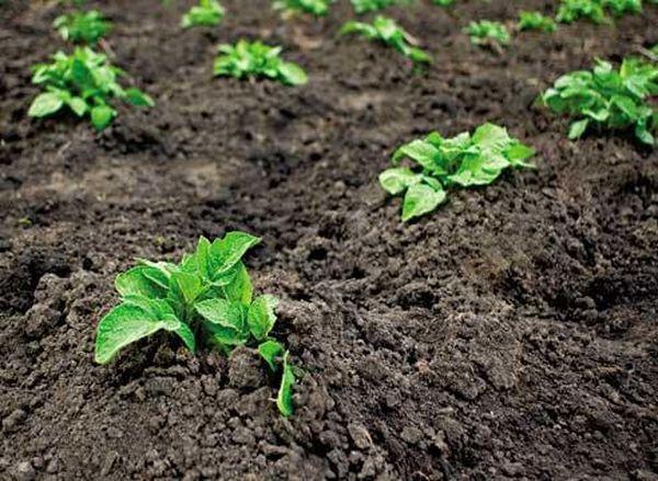При слишком ранней посадке развитие растения будет замедлено