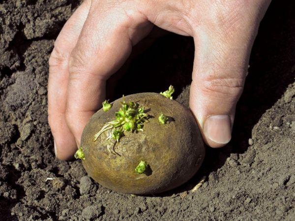 Рекомендуемый срок посадки картофеля в Башкирии - в середине мая