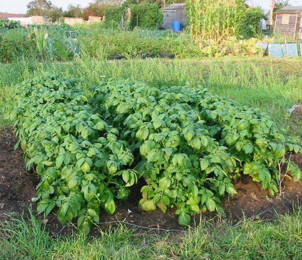 После 1-2 лет посадки картофеля на одном месте урожай начинает мельчать