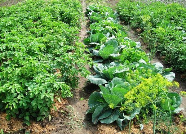 Картофель хорошо соседствует с капустой