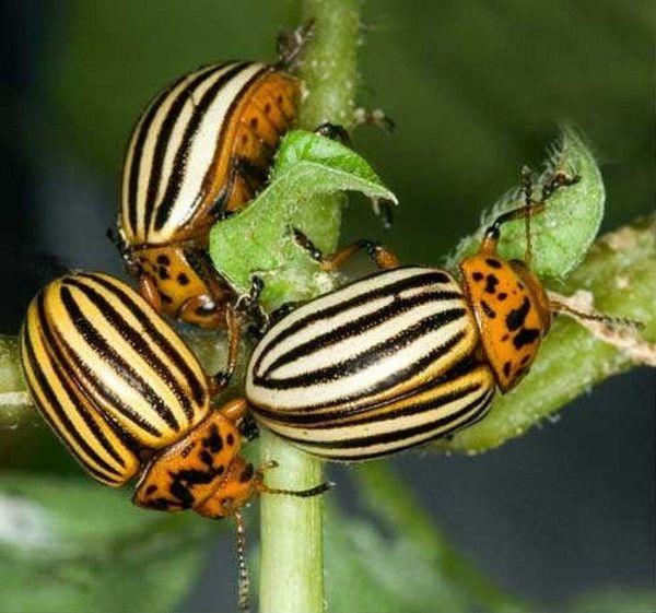 Имидаклоприд - яд для колорадского жука и проволочника