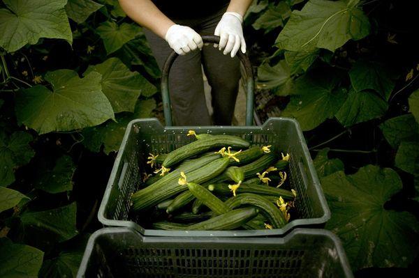 При соблюдении условий урожай огурцов в теплице превысит урожайность в открытом грунте