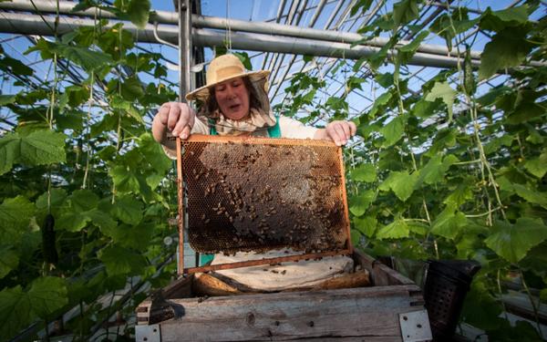 Если выращиваются опыляемые сорта - необходимо обеспечить доступ пчел в теплицу