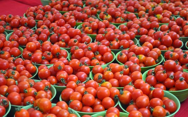 Средняя урожайность помидор Толстой - около 5кг с 1 кв.м.