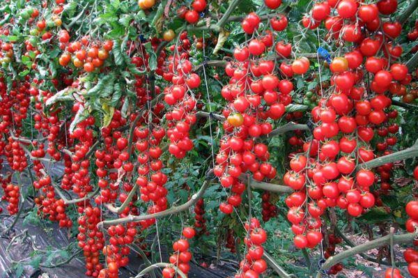 Урожай поспевает синхронно, и его можно собирать кистями
