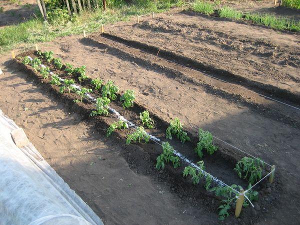Высадка саженцев в грунт производится в мае