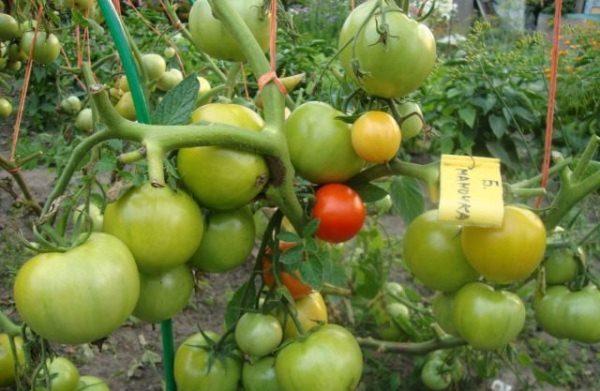 Недозрелые плоды томата Большая мамочка