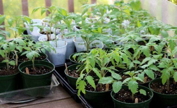 За 10 - 14 дней до высадки рассады томата Хлебосольный в открытый грунт нужно начинать закаливание