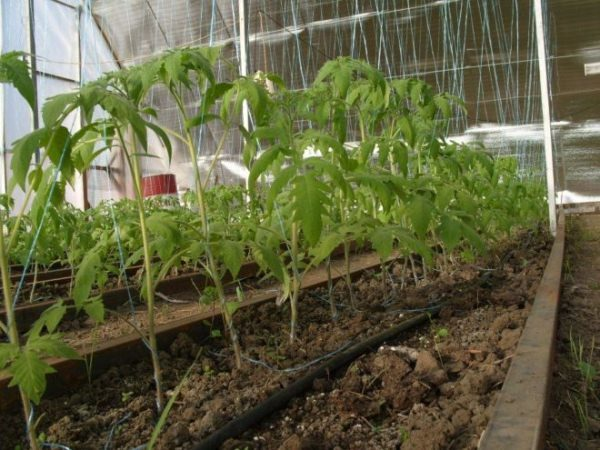 При выращивании томата Хлебосольный в теплицах или парниках, кусты необходимо подвязывать