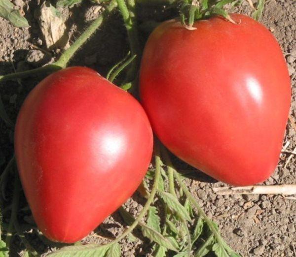 Томат Лентяйка предназначен для выращивания в суровых климатических условиях средней полосы России