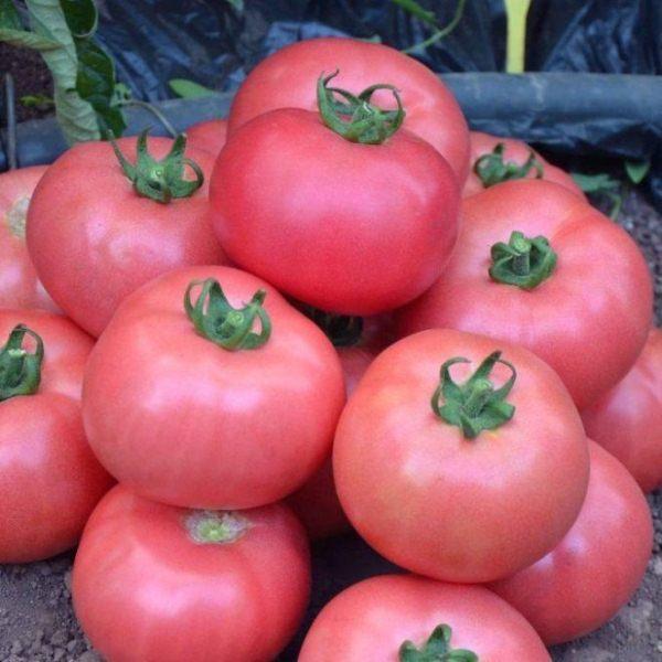 В плодах томата Розмарин содержится большое количество витамина А