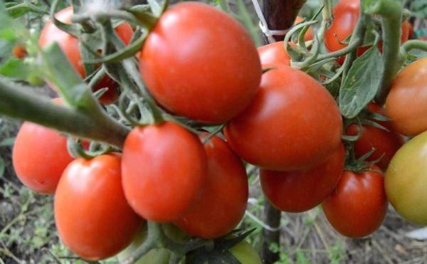 Ранний сорт томата Земляк