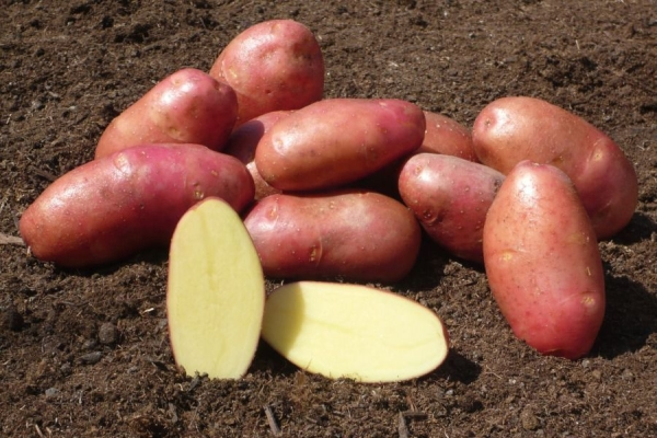 Описание и характеристики картофеля сорта Ред Фэнтези, посадка и уход