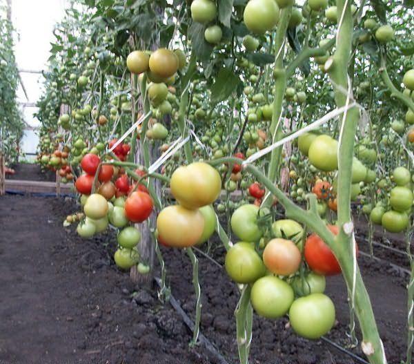 Цель подвязки помидор