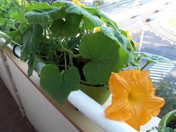 Как вырастить тыкву дома на балконе