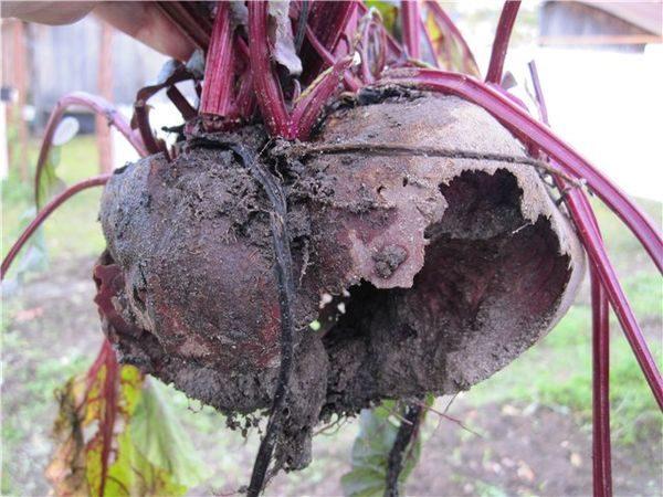 Корнеплод свеклы, поврежденный грызунами