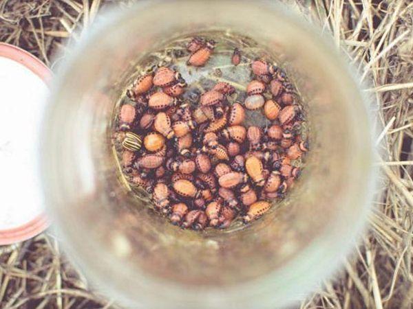 Колорадский жук против себя - настой из собранных вредителей в бутылке с водой