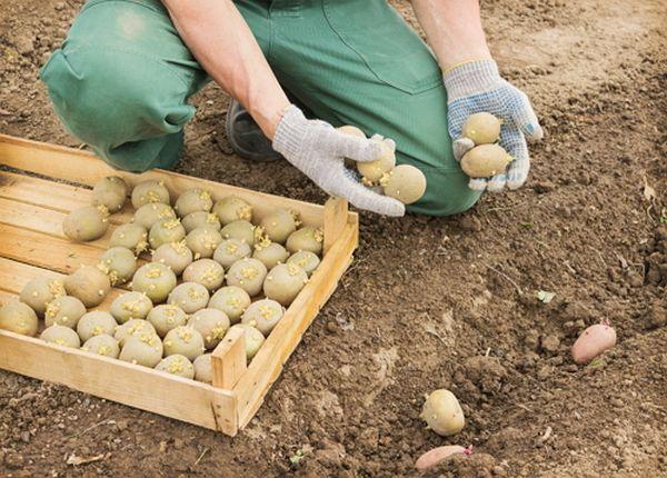 Семена сорта Удача высаживают в грунт в конце мая