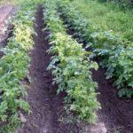 На глинистых почвах используется посадка в гребни